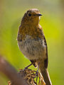 Erithacus rubecula -Canary Islands, Spain -juvenile-8 (1).jpg