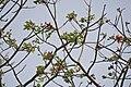 Erythrina caffra (Monreale) 1645.jpg