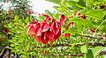 Erythrina crista-galli, ceibo.jpg