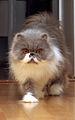 Esemplare di gatta Persiana Blupoint.jpeg