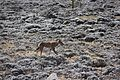 Ethiopian Wolf (16284441756).jpg
