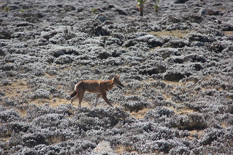 File:Ethiopian Wolf (16284441756).jpg