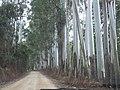 Eucaliptos na beira da estrada de terra 2014-05-25 Isack - panoramio.jpg