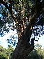 Eucaliptus del parc de l'Oreneta - arbre d'interès local P1510228.jpg