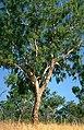 Eucalyptus bleeseri.jpg