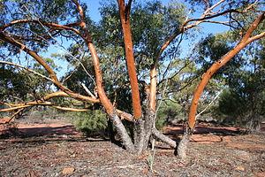 Eucalyptus loxophleba - mallee habit