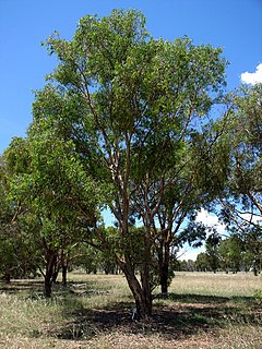 <i>Eucalyptus parramattensis</i> Species of eucalyptus