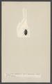 Eucinetus - Print - Iconographia Zoologica - Special Collections University of Amsterdam - UBAINV0274 001 07 0029.tif