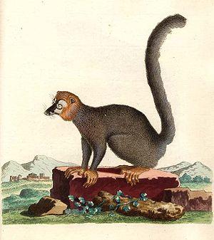 Johann Christian Daniel von Schreber - Image: Eulemur mongoz Schreber