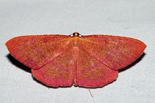 <i>Eumelea rosalia</i> species of insect