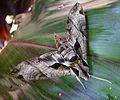 Eumorpha species. ( anchemolus^ ) Sphingidae - Flickr - gailhampshire.jpg