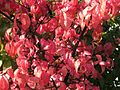 Euonymus verrucosus 7112.jpg