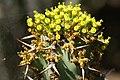 Euphorbia caerulescens 01.jpg