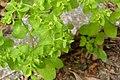Euphorbia peplus (7914488630).jpg