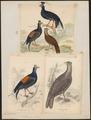 Euplocomus vieillotii - 1700-1880 - Print - Iconographia Zoologica - Special Collections University of Amsterdam - UBA01 IZ16900278.tif