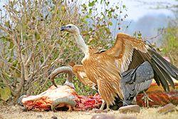 Eurasian Griffon Vulture on cattle carcass.jpg