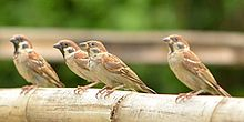 Eurasian Tree Sparrow-1.JPG