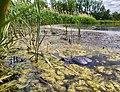 Europäische Sumpfschildkröte Klingenberger See.jpg