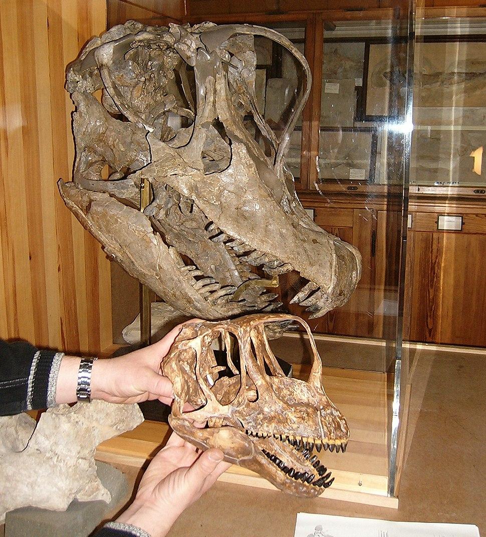 Europasaurus und Giraffatitan skulls