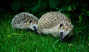 European Hedgehog Mother and Child.jpg