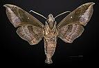 Eurypteryx bhaga MHNT CUT 2010 0 27 Wang Chin District, Phrae Province, Thailand male ventral.jpg