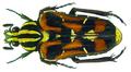 Euselates (Euselates) conspersa (Schoch, 1897) (8388650921).png