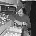 Ex-oesterkwekers in Yerseke halen de eerste champignons binnen, Marinus de Munck, Bestanddeelnr 916-0711.jpg