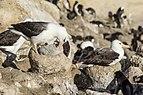 FAL-2016-New Island, Falkland Islands-Black-browed albatross (Thalassarche melanophrys) 01.jpg