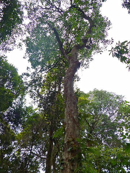 File:Fabaceae (Callerya vasta) (15495328437).jpg