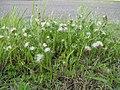 Facelis retusa plant9 (14047642595).jpg