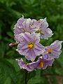 Falaise-FR-08-Solanum tuberosum-07.jpg