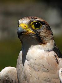 Falco biarmicus domesticated portrait.jpg