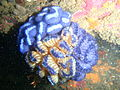 Fan ascidian at Storms River Mouth P8050762.JPG