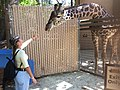 Feed the Giraffe Lani.jpg