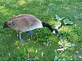 Feeding the Geese; Sounds of Geese (4621606253).jpg