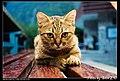Felis silvestris catus (4981668904).jpg