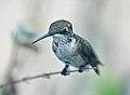 Female Ruby Throated Hummingbird (2825459719).jpg