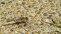 Female Wandering Percher flank (17087593860).jpg