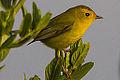 Female Wilson's Warbler (9330849682).jpg