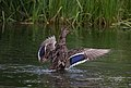Female mallard flapping on the water (21871).jpg