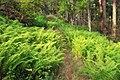 Fern Path (9540302241).jpg