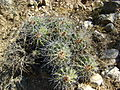 Ferocactus flavovirens (2).jpg