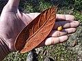 Ficus crininervia.jpg