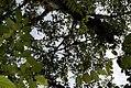 Ficus dammaropsis 5zz.jpg