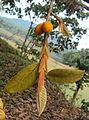 Ficus drupacea 04.JPG