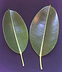 Ficus elastica leaves.JPG