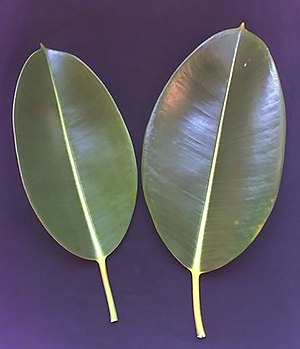 Ficus elastica - Leaves of Ficus elastica