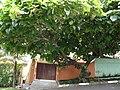 Ficus old.JPG