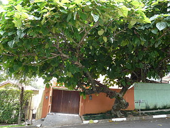 English: A very old ficus tree in São Paulo, B...
