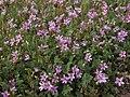 Filaree, Erodium cicutarium (30929849825).jpg